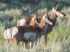 Family Ties (Second in Series) (Christopher Mayle Photography) Tags: natura summer west wildlife herd nature yellowstone 2017 pronghorn wyoming mountain wild native brown heather grass green olympus