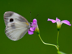 cabbage white feasting on oxalis bloom(Explored) (kiki nagi) Tags: butterfly cabbagewhite insect nature macro nikond750