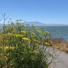 Bayside Trail (Melinda Stuart) Tags: cesarchavezpark tamalpias mounttam mountain bay marine yellow park berkeley trail flowers fennel nature