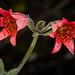 Bolander's lily (Lilium bolanderi) (Spencer Dybdahl Riffle) Tags: bolander bolanderi lily lilium del norte county california nature plant botany cnps calflora native society liliaceae