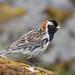 Lapland Longspur (Bufflehead66) Tags: alaska pribilofs longspur