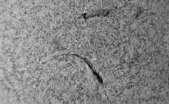Filaments in H-alpha on July 22 2018 PDT 13h33m10s-0425_L_pipp_lapl4_ap2727 (Photon_chaser) Tags: sun sunspots solar spicules sunspot sunsunspots stack ssm174mmachromat zwoasi174mmcamera zwo alpha achromat asi andover astrophotos quark lunt ls50f