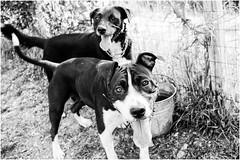 "al centro cinofilo ""Cuma"" (andaradagio) Tags: andaradagio bianconero bw canon dog cane miglioramicodelluomo nadiadagaro centrocinofilocuma spoleto dogs cani"