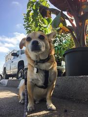 Found some shade (jmhull.LA) Tags: farmersmarket torrance dog corgichihuahua chorgi wilsonpark