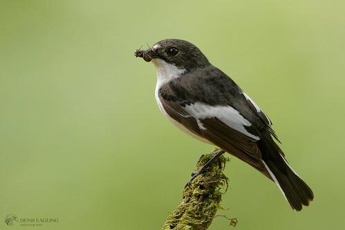 Pied flycatcher - male