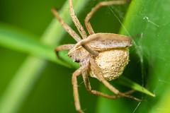Nursery web spider (Shane Jones) Tags: nurserywebspider spider arachnid wildlife nature nikon d7200 tamron180mmmacro pk3extensiontube pk3x2 canon500d macro macrolife macrophotosnolimits macrolicious