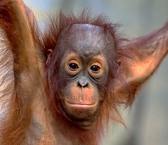 Old Eyes (Darts5) Tags: orangutan orangutans primate primates animal nature upclose 7d2 7dmarkll 7dmarkii 7d2canon ef100400mmlll closeup canon7d2 canon7dmarkll canon7dmarkii canon canonef100400mmlii