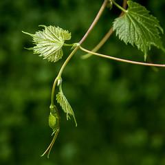Reach & Grow (Portraying Life, LLC) Tags: k1mkii dfa28105 dbg6 handheld closecrop nativelighting wildgrape pentax