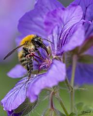 Week 23 DPC 2018 - Bee on Flower (Jill Hempsall) Tags: bee honey insect flower pollen nature macro