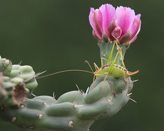 Katydid and cholla flower (jim_mcculloch) Tags: cacti d852231 insects