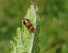 Phyllobrotica quadrimaculata (rockwolf) Tags: phyllobroticaquadrimaculata coleoptera chrysomelidae beetle leafbeetle insect brownmoss shropshire rockwolf