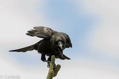 Cao, Hispaniolan Palm Crow (Corvus palmarum) (Gogolac) Tags: 2018 aves bird birdphotography birdie birds canon7dmii cao corvuspalmarum fauna hispaniolanpalmcrow lagoenriquillo location year birdspot birdingrd birdsspotters republicadominicana