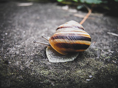 Easy rider (D D photography) Tags: photo photos photography snail snails animal creature spiral house walk easy easily simple closeup concrete