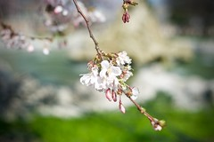 500px Photo ID: 251129657 (albertoandaloro) Tags: nature plant bloom japan flower beautiful background spring italysummer blooming beauty natural season garden green design sunny art colorful sky pink fresh sun tree gardening color blue botany life