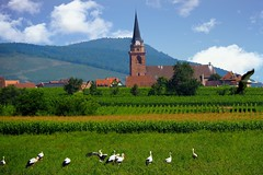 les cigognes de Bergheim (Alsace, F) (pietro68bleu) Tags: alsace village cigognes vignes clocher europe france stork verdure grass greenery vue view tower roof bird tree church clock towerclock eglise summer july