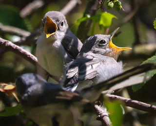 Fledgeling Blue-gray Gnatcatchers with parent  Temescal Canyon Los Angeles-125