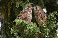 Common Kestrel - Turmfalke (rengawfalo) Tags: falcotinnunculus commonkestrel turmfalke vogel vögel bird birding birder falke greif greifvogel juvenil natur nature wildlife outdoor