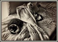 Morning nap (Bob R.L. Evans) Tags: kitten catsnapping composition humor unusual sepiatone availablelight littledoglaughednoiret thecatwhoturnedonandoff