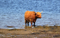 Chilling (Graham`s pics) Tags: cow cattle livestock animal water lochetive scotland taynuilt sea sealoch