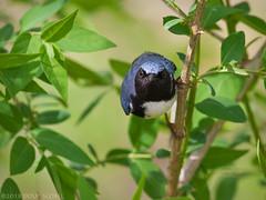 Game Face (Doug Scobel) Tags: blackthroated blue warbler setophaga caerulescens magee marsh bird wildlife nature staring woodwarbler birdperfect