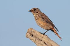 Codirosso Juvenes (Marcello Giardinazzo) Tags: codirosso avifauna wild birds bird uccelli natura