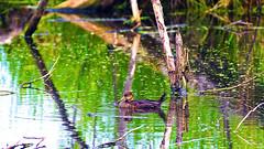 Merganser, Miller Creek - Duluth MN, 06/29/18 (TonyM1956) Tags: elements millercreek duluth minnesota stlouiscounty nature tonymitchell merganser waterfowl sonyphotographing sonyalphadslr