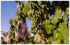 The Grapes of Cappadocia (Swissrock-II) Tags: grape thegrapesofcappadocia anatolia turkey trauben türkei landschaft landscape reben 2018 june vineyard