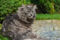 It's a hairy business (FocusPocus Photography) Tags: fynn fynnegan katze kater cat chat gato tier animal haustier pet haarig hairy putztsich grooming