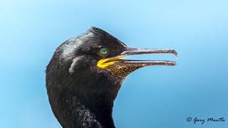 Shag - Phalacrocorax aristotelis