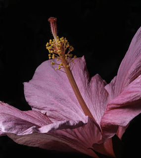 Lighting Up The Center Of A Pink Hibiscus