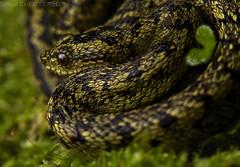Great lakes bush viper (Atheris nitchei) (pbertner) Tags: bushviper atheris rainforest cloudforest nyungwenationalpark rwanda africa venomous viper