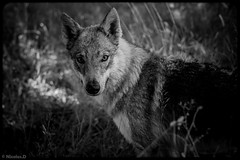 Le champs de Shyva..... (Pilouchy) Tags: champs shyva animal regard eyes yeux chemin foret wood legend bellissima monochrome blackandwhite