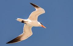 Tern (Eeyore Photography) Tags: robertjackson summer tern wildlife bird nikkor200500mmf56 photography nikond750 robertjacksonphotography florida