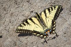 Western Tiger Swallowtail (Turk Images) Tags: aspenparkland clydearea pterourusrutulus westerntigerswallowtail alberta butterfly insectpapilionoidea