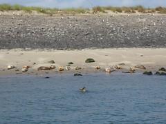 Seehunde (thomaslion1208) Tags: seehund seal seehond tier natur