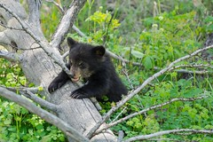 Think I'm stuck (ChicagoBob46) Tags: blackbear bear cub yellowstone yellowstonenationalpark nature wildlife coth5 ngc npc