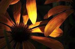 A Single Ray (robinlamb1) Tags: nature outdoor plant flower echinacea naturallight light sun ray sunbeam