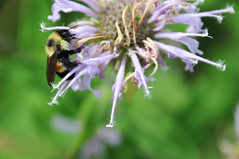 Rusty Patched Bumble Bee on Wild Bergamot (U.S. Fish and Wildlife Service - Midwest Region) Tags: endangered endangeredspecies bee pollinator bergamot plant flower wildlife animal minnesota mn july 2018 summer twincities native