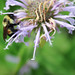 Rusty Patched Bumble Bee on Wild Bergamot