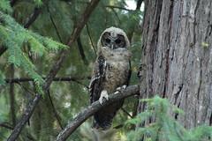 California spotted owl fledgling (Team Kweeper) Tags: sierranevada mountains animal bird wildlife rare raptor birdofprey forest perching perch