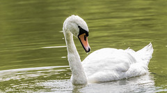swan looking (dr.larsbergmann) Tags: swan nature greatphotographers thebeautyofnature