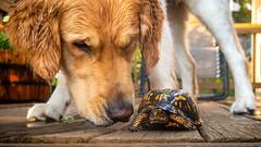 Yogi '18 (R24KBerg Photos) Tags: yogi goldenretriever dog canon pet beautiful outdoors animal canine northcarolina nc wintervillenc 2018 friend golden sniff turtle rain cute boxturtle