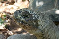 Aldabrachelys gigantea (Aldabra Giant Tortoise) - Bird Island, Seychelles (Nick Dean1) Tags: albabrachelysgigantea aldabragianttortoise tortoise reptilia reptile testudinidae seychelles birdisland aldabra indianocean