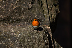 Robin's interest (gina.nicole.tesloff) Tags: robin red orange contrast quary wildlife enchanting england rock texture tiny tradition uk inquisitive outdoors pattern pretty perspective artistic animal bird sun detail delicate depth glow graceful light life canon colour colourful color countryside cute creature cheeky beautiful bright nature natural macro