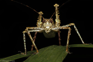 Spiny rainforest katydid (Phricta spinosa)