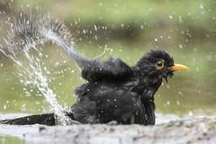 Blackbird - HBN-hut 1XL - Delden - The Netherlands (wietsej) Tags: blackbird hbnhut 1xl delden the netherlands sony rx10 iv rx10m4 bird rx10iv