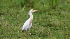 Cattle Egret ~ Bubulcus ibis {explored} (Cosper Wosper) Tags: bubulcusibis cattleegret catcott somerset levels explored