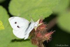 Cabbage White (Pieris rapae) (Frode Jacobsen) Tags: cabbagewhite pierisrapae westvirginia frodejacobsen canoneos7dmarkii canonef30040lisusm insect butterfly lepidoptera