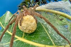 Nursery web spider (cf. Nilus sp.) - DSC_2887 (nickybay) Tags: bugshot mozambique gorongosa macro africa cctv wideangle pisauridae nilus dolomedes nursery web spider