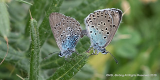Mating Large Blue